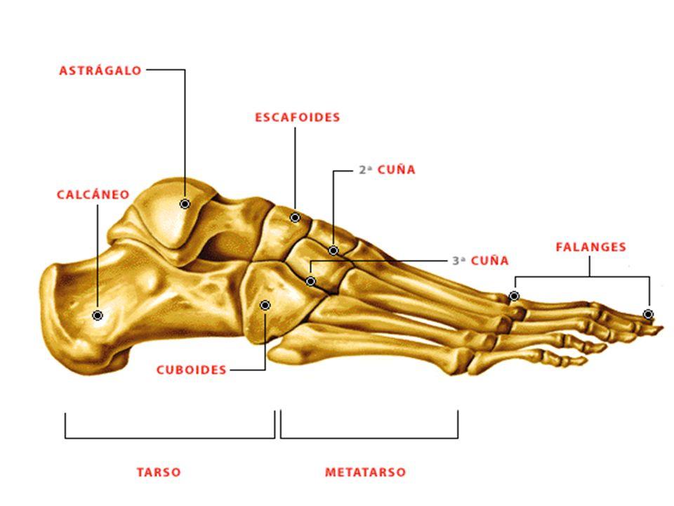 Bonito Huesos Del Pie Esqueleto Humano Imagen - Anatomía de Las ...