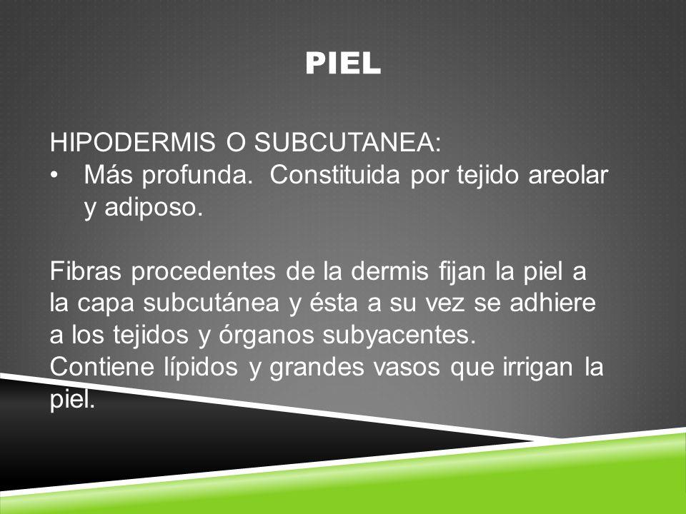 PIEL HIPODERMIS O SUBCUTANEA: Más profunda.Constituida por tejido areolar y adiposo.