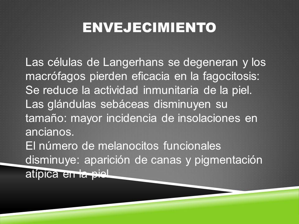 ENVEJECIMIENTO Las células de Langerhans se degeneran y los macrófagos pierden eficacia en la fagocitosis: Se reduce la actividad inmunitaria de la piel.