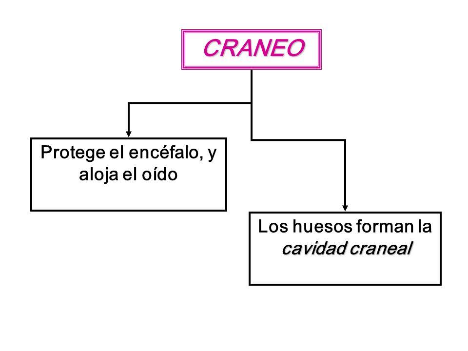 CRANEO Protege el encéfalo, y aloja el oído cavidad craneal Los huesos forman la cavidad craneal