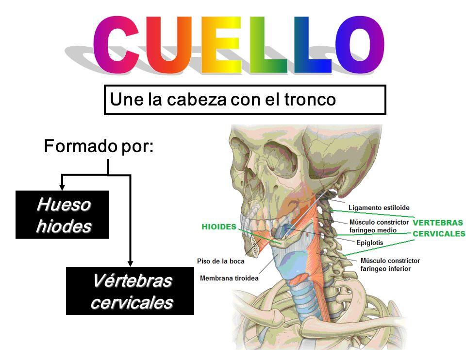 Une la cabeza con el tronco Formado por: Hueso hiodes Vértebras cervicales