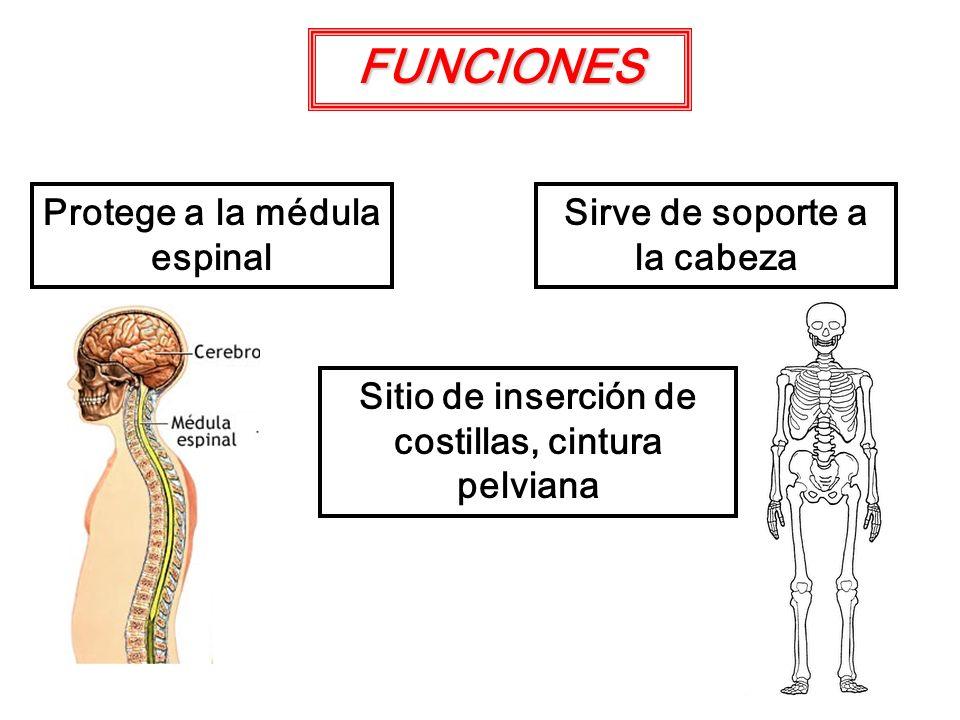 FUNCIONES Protege a la médula espinal Sirve de soporte a la cabeza Sitio de inserción de costillas, cintura pelviana