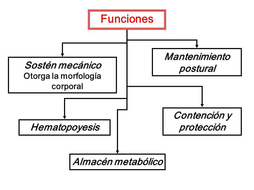Funciones Sostén mecánico Otorga la morfología corporal Mantenimiento postural Contención y protección Hematopoyesis Almacén metabólico
