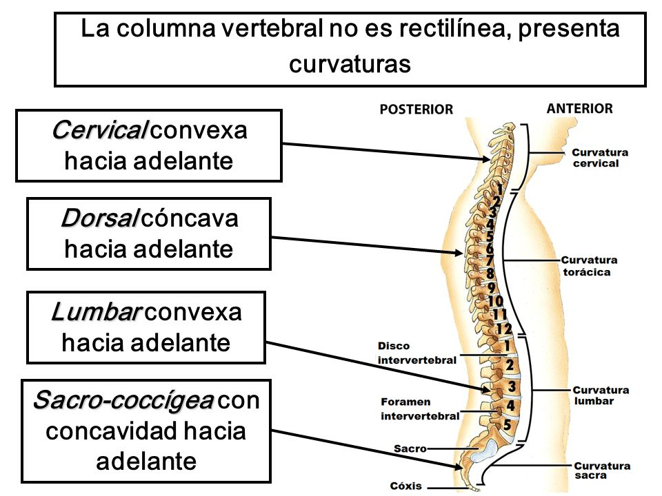 La columna vertebral no es rectilínea, presenta curvaturas Cervical Cervical convexa hacia adelante Dorsal Dorsal cóncava hacia adelante Lumbar Lumbar convexa hacia adelante Sacro-coccígea Sacro-coccígea con concavidad hacia adelante