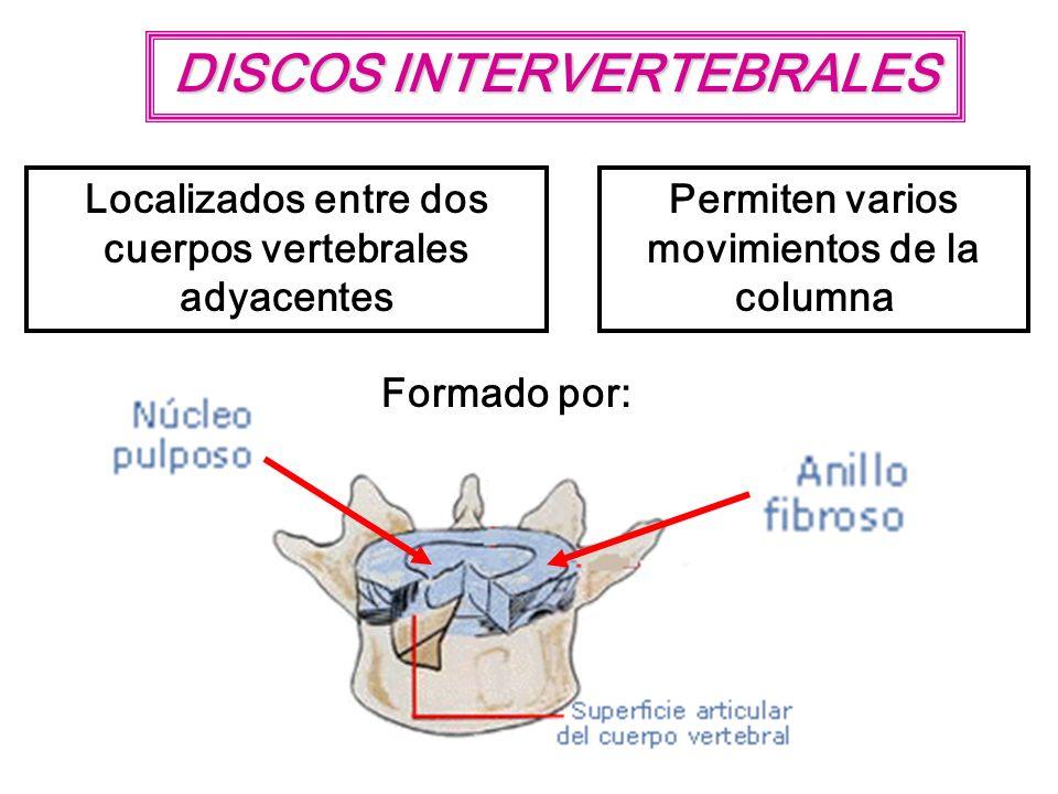 DISCOS INTERVERTEBRALES Localizados entre dos cuerpos vertebrales adyacentes Permiten varios movimientos de la columna Formado por: