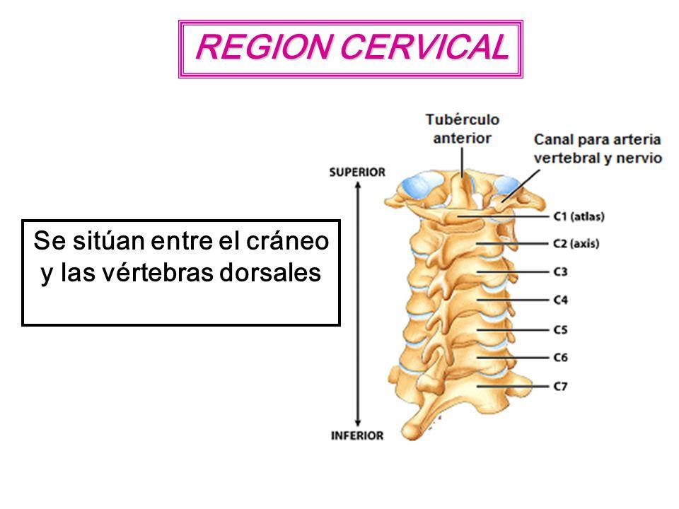 REGION CERVICAL Se sitúan entre el cráneo y las vértebras dorsales