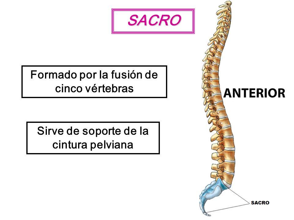 SACRO Formado por la fusión de cinco vértebras Sirve de soporte de la cintura pelviana