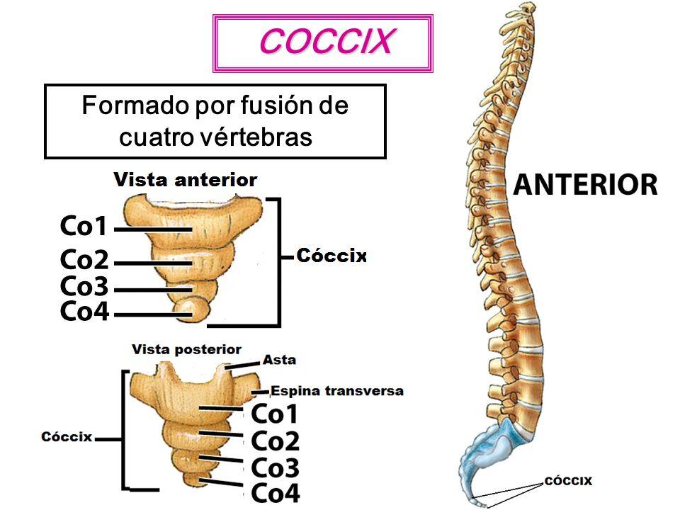 COCCIX Formado por fusión de cuatro vértebras