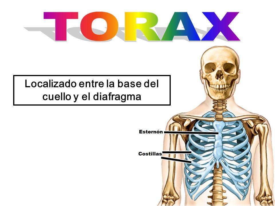 Localizado entre la base del cuello y el diafragma