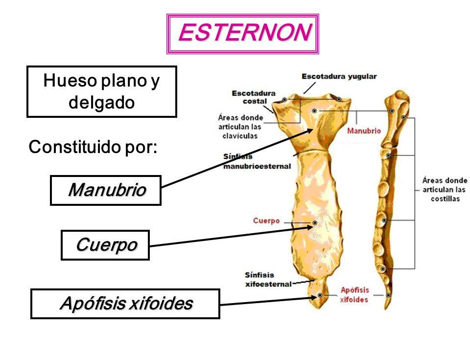 ESTERNON Hueso plano y delgado Constituido por: Manubrio Cuerpo Apófisis xifoides