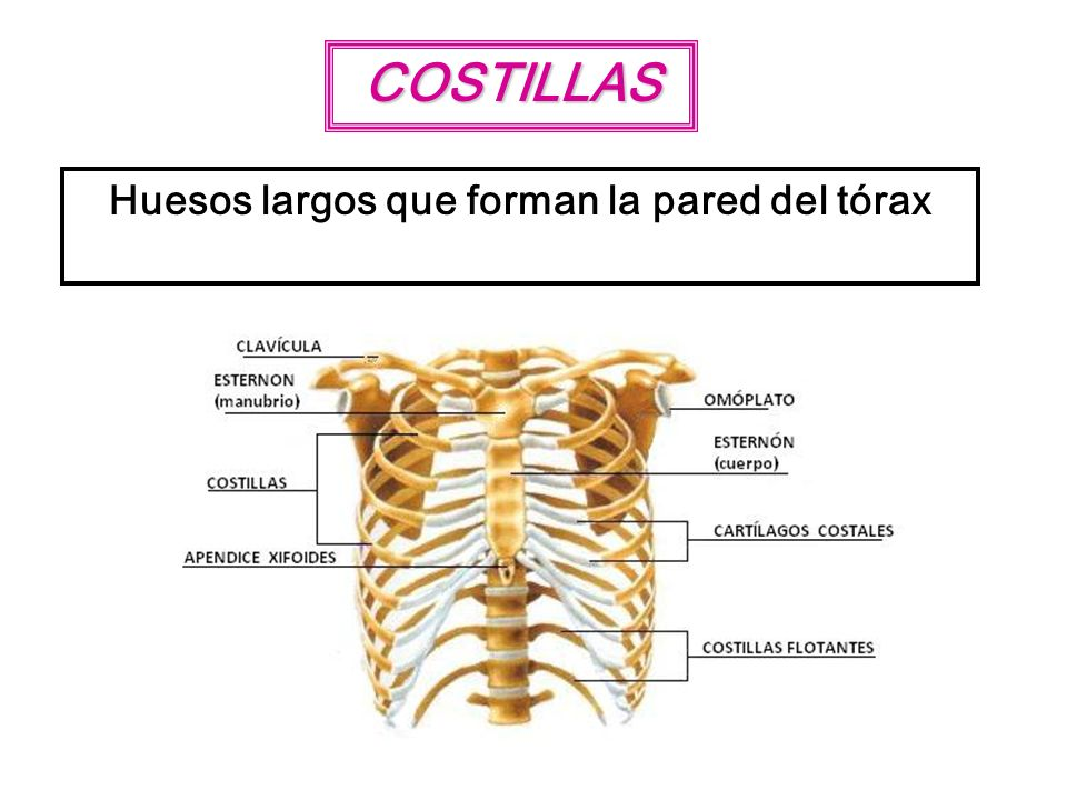 COSTILLAS Huesos largos que forman la pared del tórax