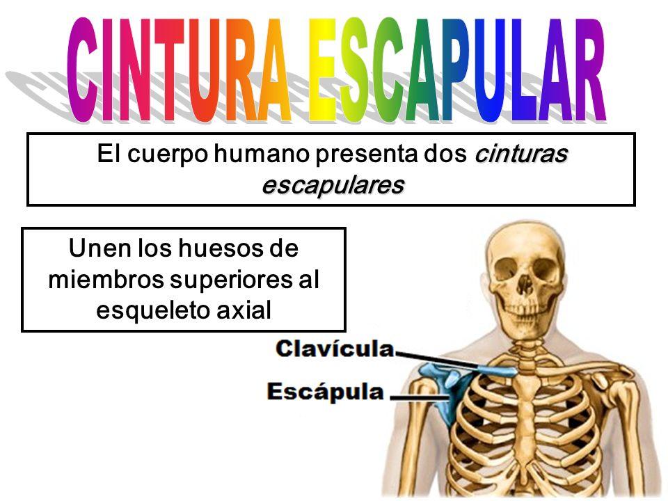 cinturas escapulares El cuerpo humano presenta dos cinturas escapulares Unen los huesos de miembros superiores al esqueleto axial