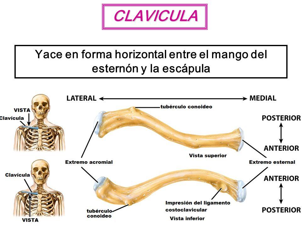 CLAVICULA Yace en forma horizontal entre el mango del esternón y la escápula