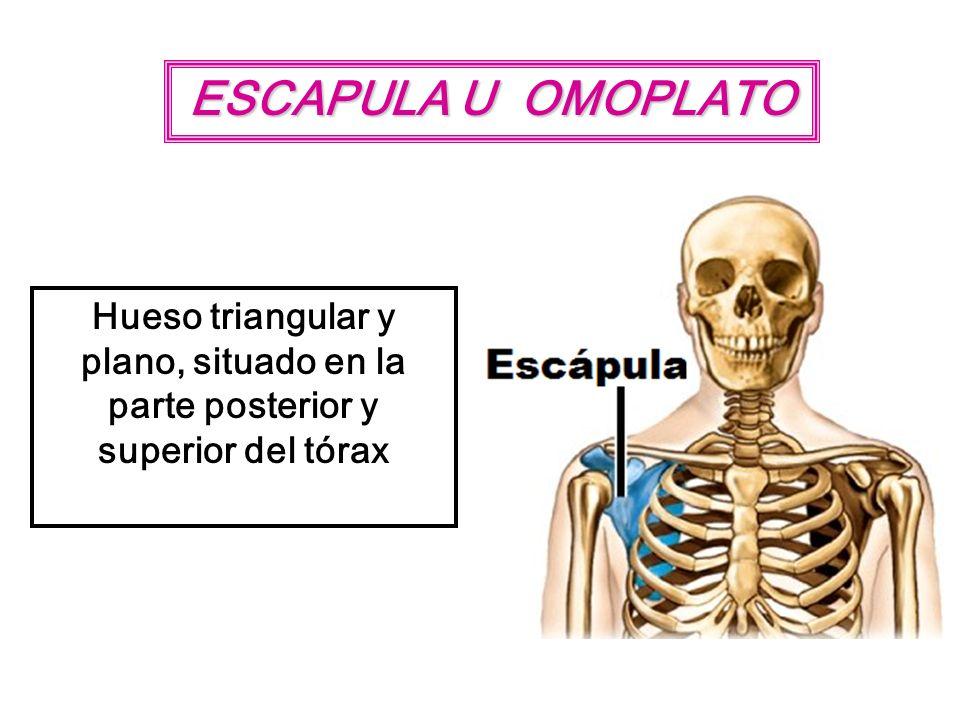 ESCAPULA U OMOPLATO Hueso triangular y plano, situado en la parte posterior y superior del tórax