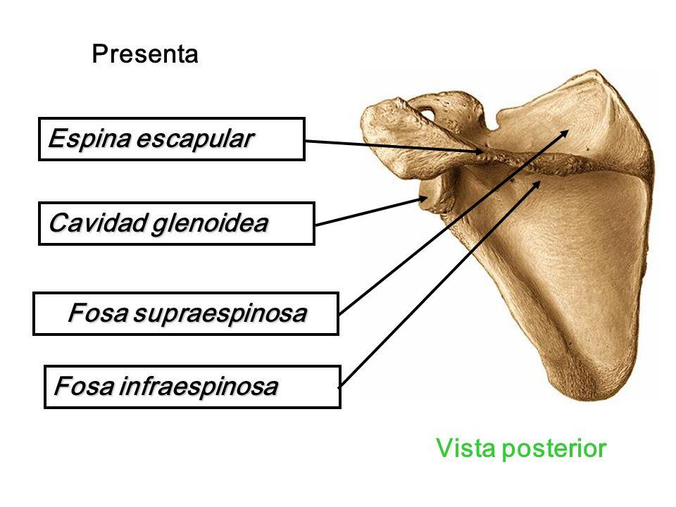 Vista posterior Presenta Espina escapular Fosa supraespinosa Fosa infraespinosa Cavidad glenoidea