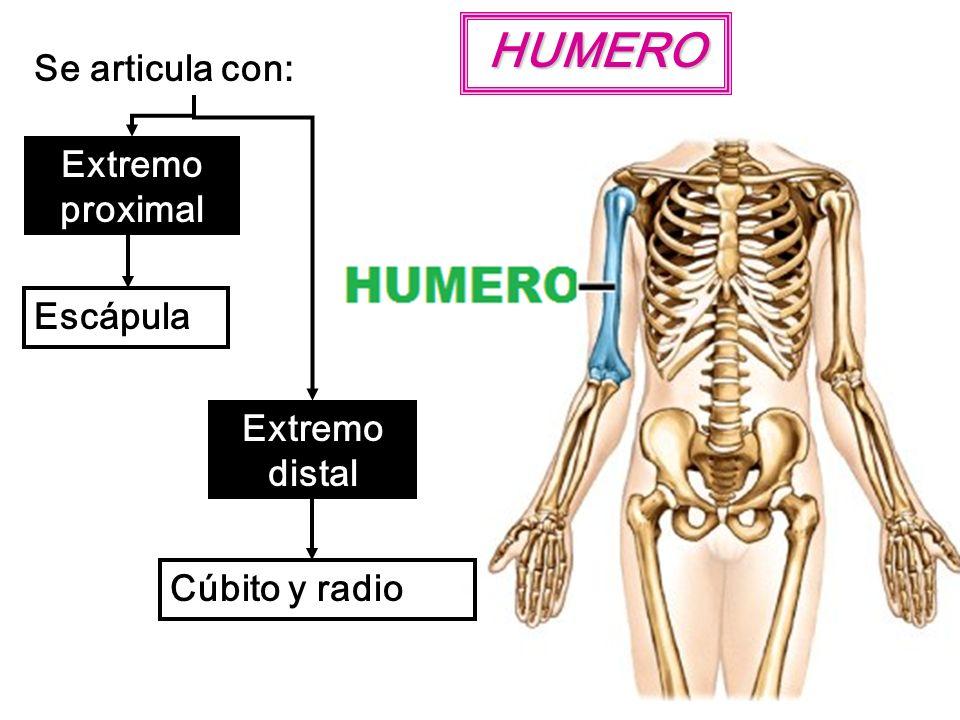 HUMERO Se articula con: Extremo proximal Escápula Extremo distal Cúbito y radio