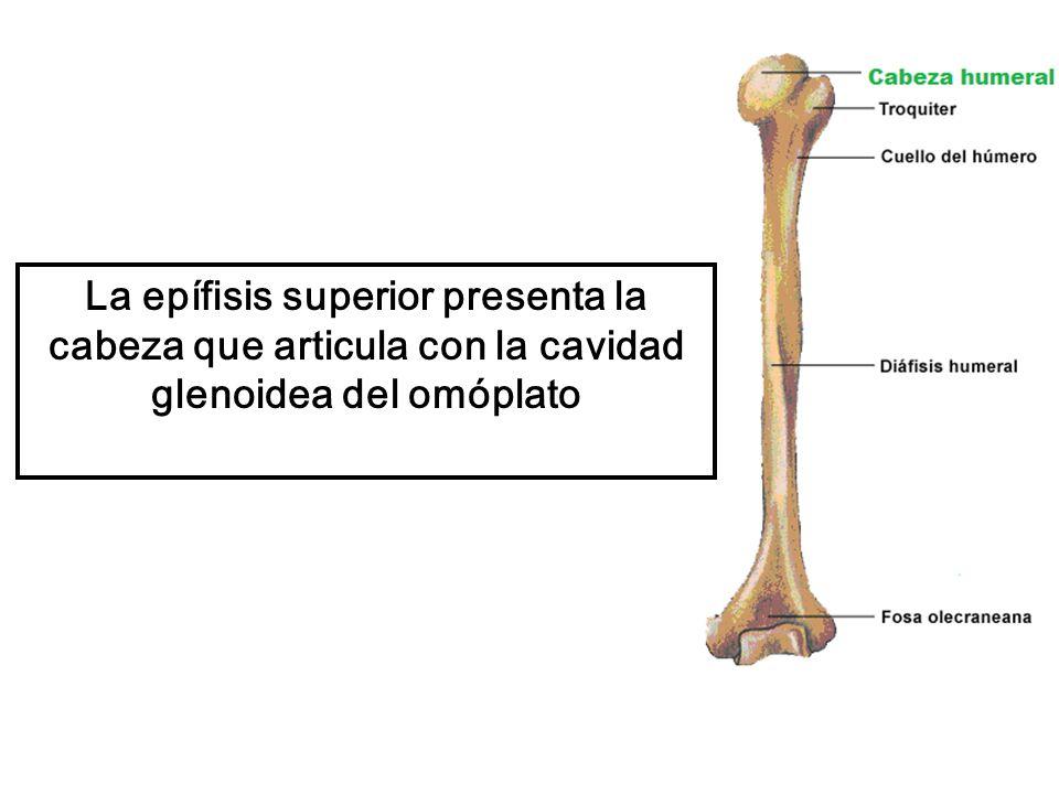 La epífisis superior presenta la cabeza que articula con la cavidad glenoidea del omóplato