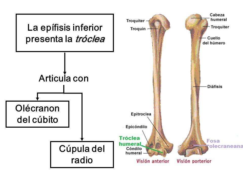 tróclea La epífisis inferior presenta la tróclea Articula con Olécranon del cúbito Cúpula del radio