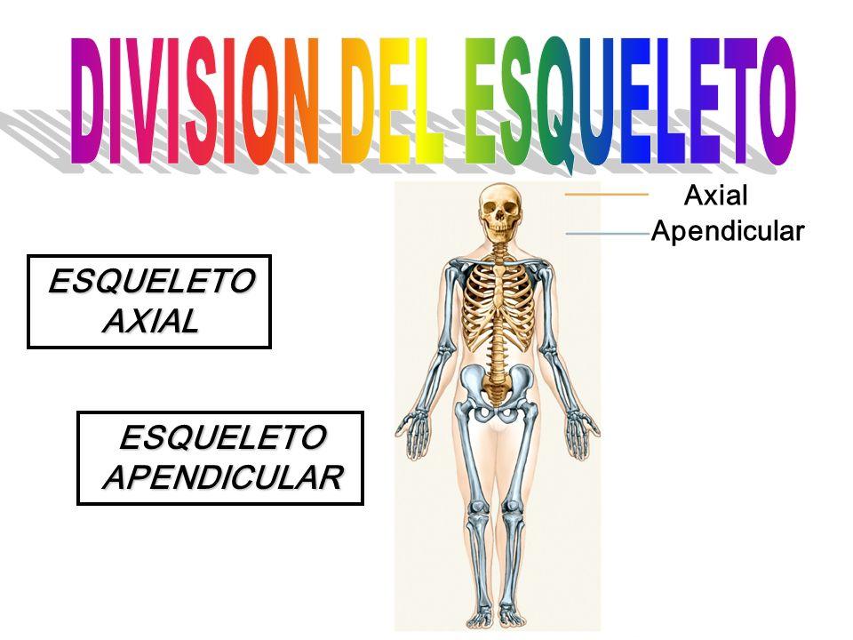 ESQUELETO AXIAL ESQUELETO APENDICULAR Axial Apendicular