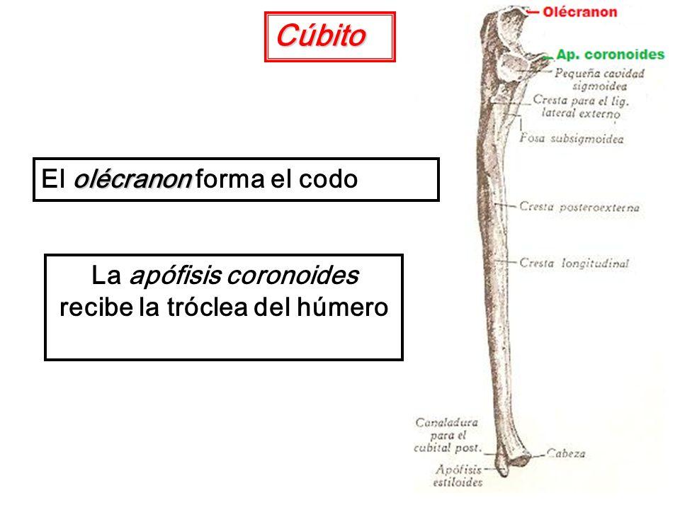 La apófisis coronoides recibe la tróclea del húmero Cúbito olécranon El olécranon forma el codo