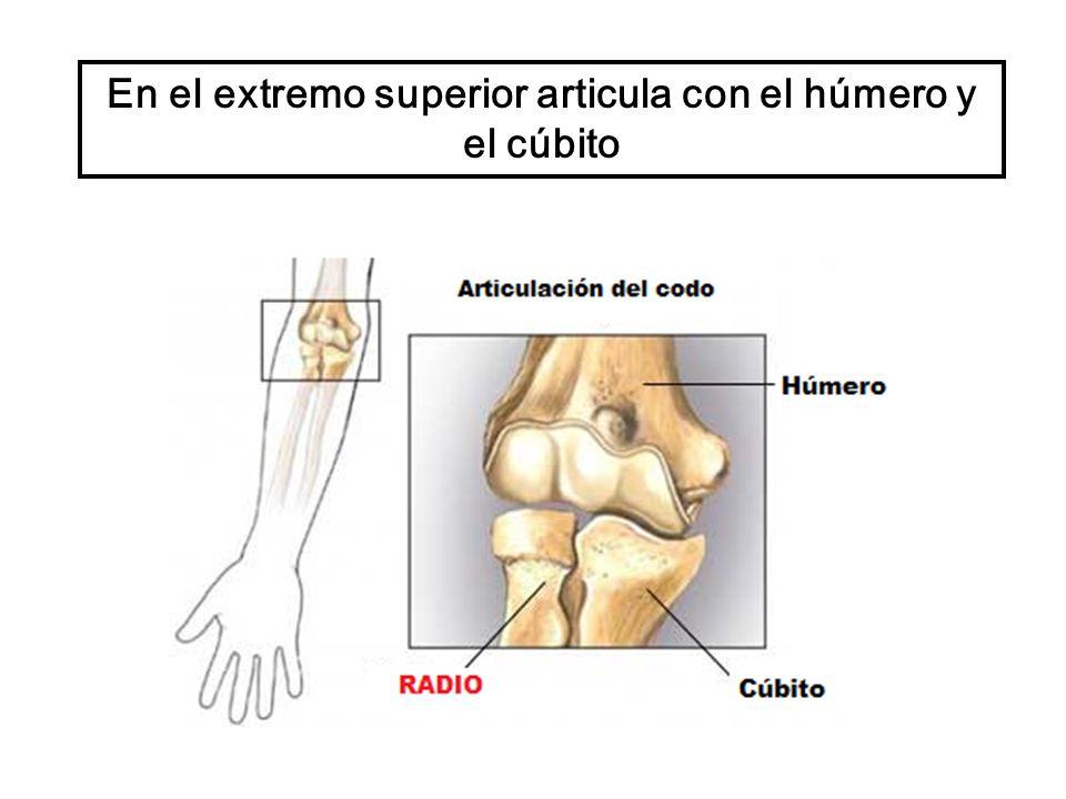 En el extremo superior articula con el húmero y el cúbito