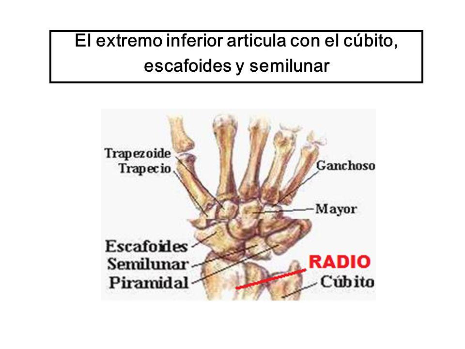 El extremo inferior articula con el cúbito, escafoides y semilunar