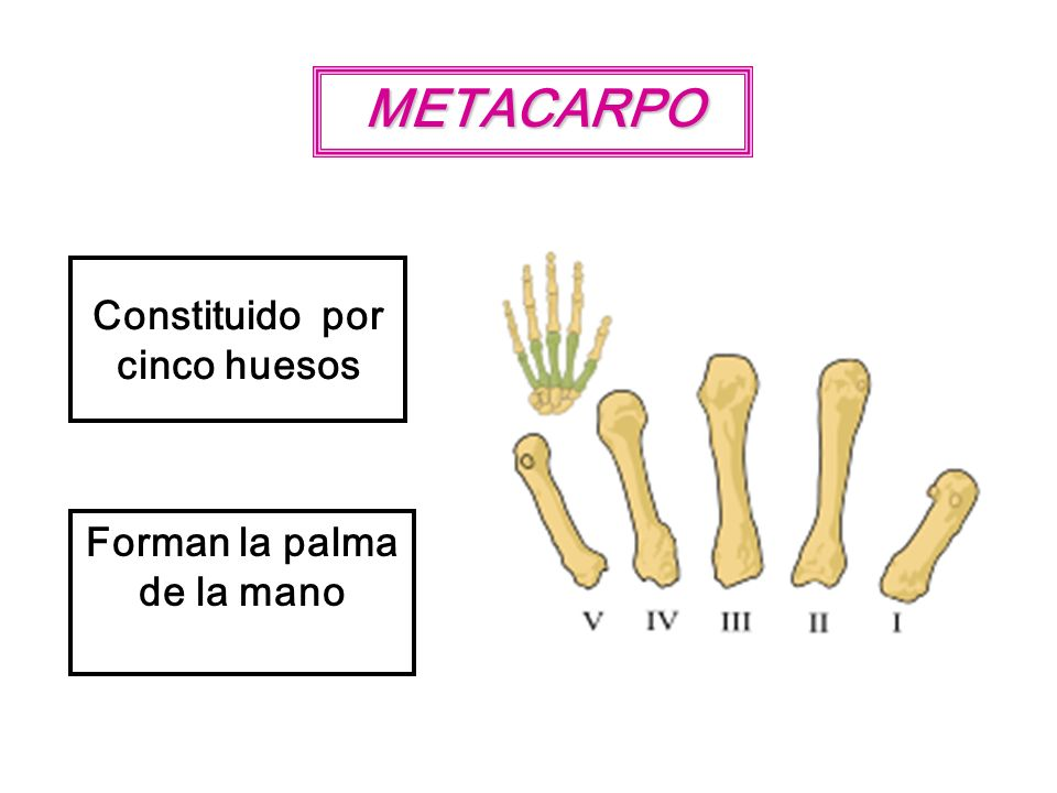 METACARPO Constituido por cinco huesos Forman la palma de la mano