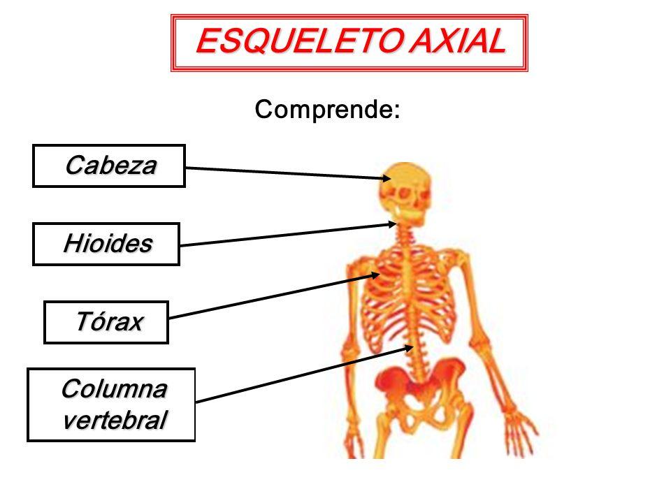 ESQUELETO AXIAL Comprende: Cabeza Hioides Tórax Columna vertebral