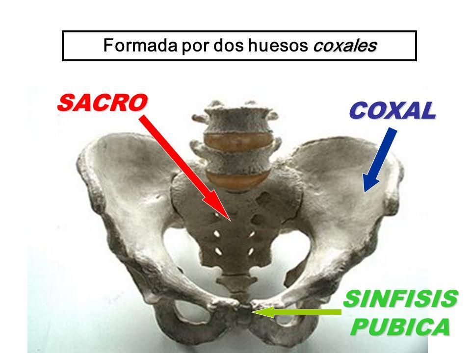 SACRO SINFISIS PUBICA coxales Formada por dos huesos coxales COXAL