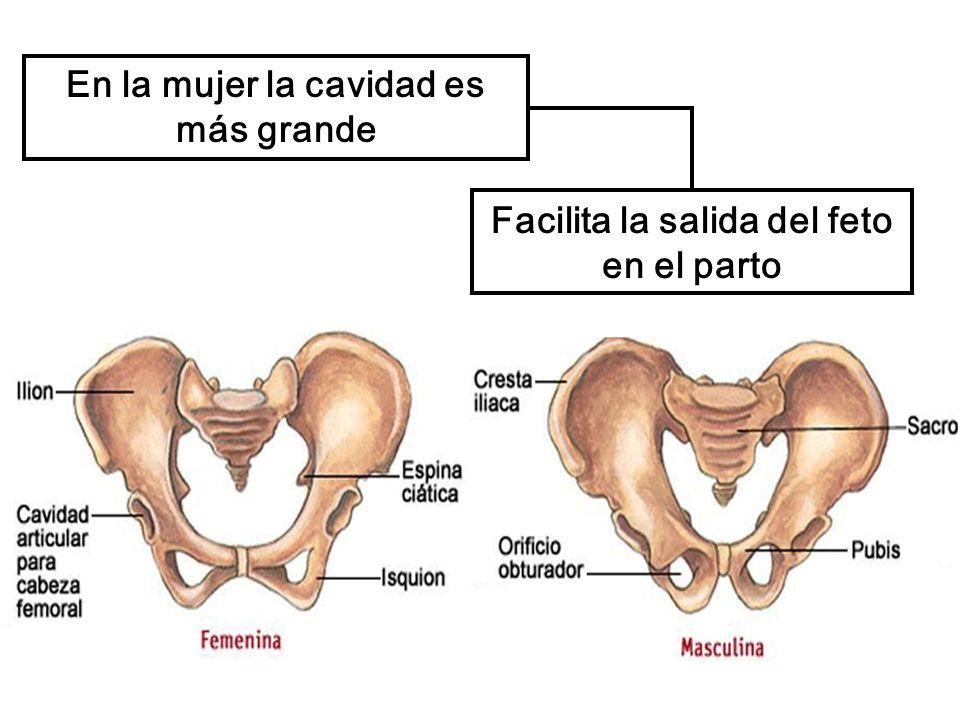 Facilita la salida del feto en el parto En la mujer la cavidad es más grande