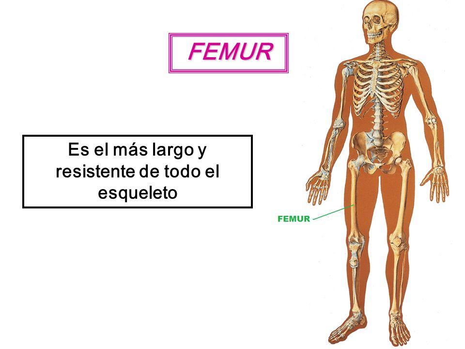 FEMUR Es el más largo y resistente de todo el esqueleto