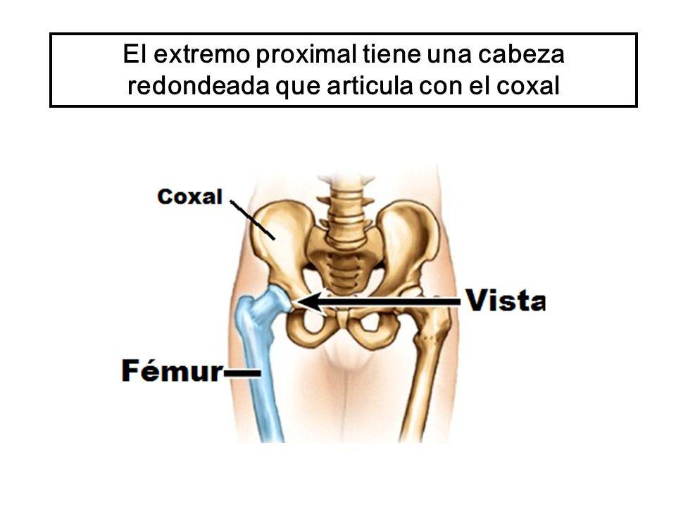 El extremo proximal tiene una cabeza redondeada que articula con el coxal