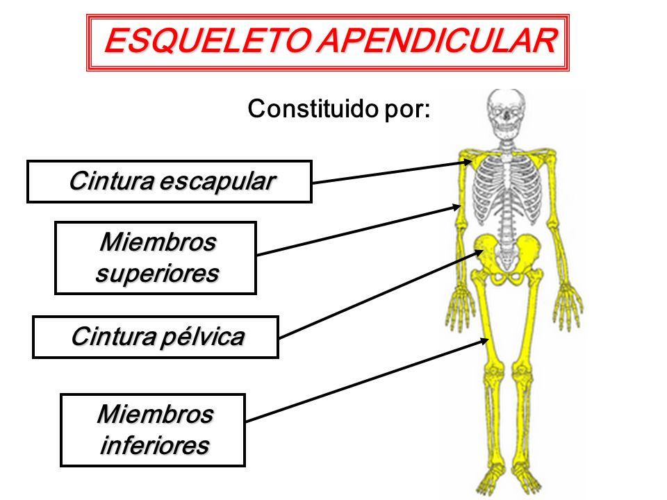 ESQUELETO APENDICULAR Constituido por: Cintura escapular Cintura pélvica Miembros superiores Miembros inferiores