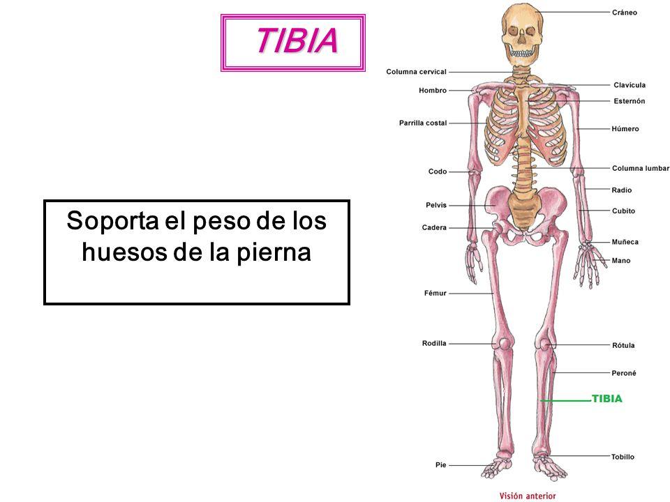 TIBIA Soporta el peso de los huesos de la pierna
