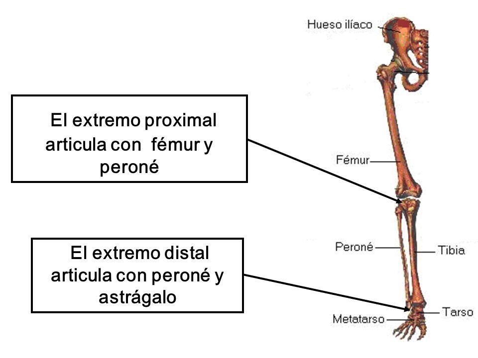 El extremo proximal articula con fémur y peroné El extremo distal articula con peroné y astrágalo
