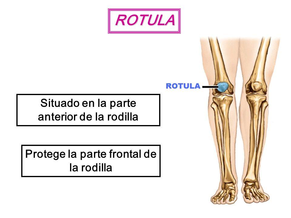 ROTULA Situado en la parte anterior de la rodilla Protege la parte frontal de la rodilla