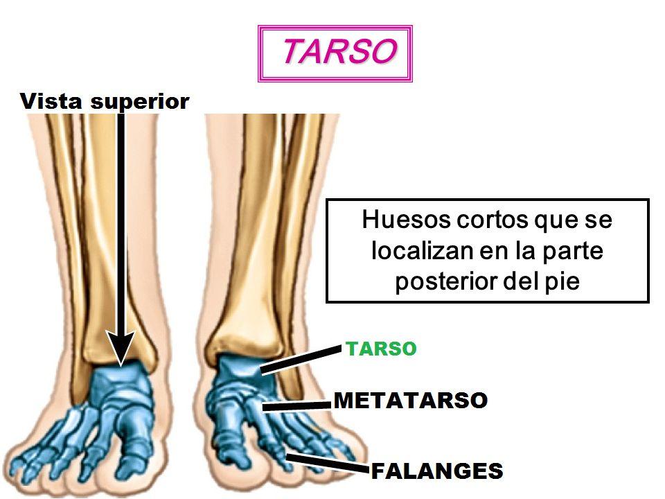 TARSO Huesos cortos que se localizan en la parte posterior del pie