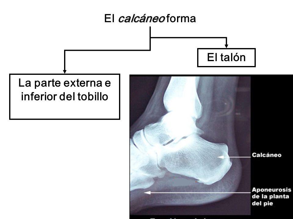 calcáneo El calcáneo forma La parte externa e inferior del tobillo El talón