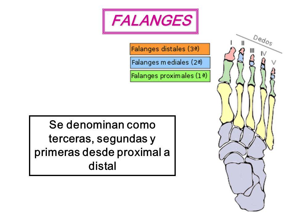 FALANGES Se denominan como terceras, segundas y primeras desde proximal a distal