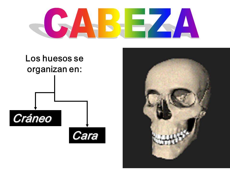 Los huesos se organizan en: Cráneo Cara