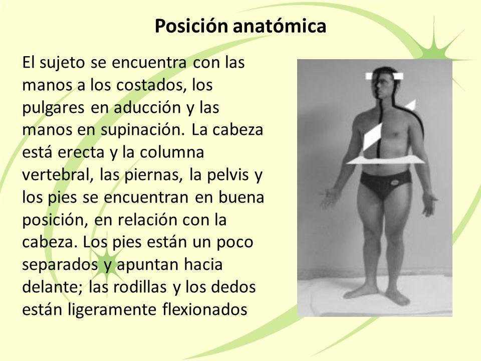 Posición anatómica El sujeto se encuentra con las manos a los costados, los pulgares en aducción y las manos en supinación.