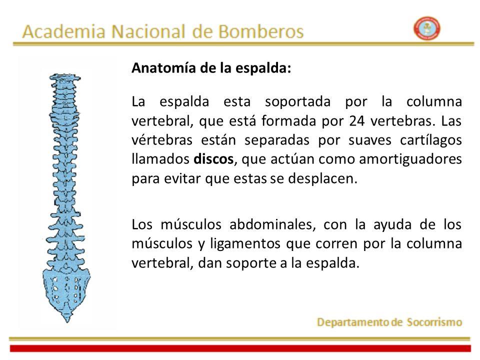 Anatomía de la espalda: La espalda esta soportada por la columna vertebral, que está formada por 24 vertebras. Las vértebras están separadas por suave