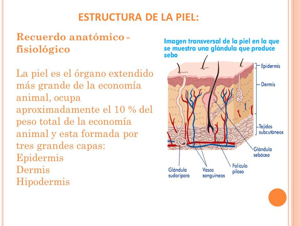 Epidermis La epidermis es la capa más externa de la piel y a su vez, está formada por cinco estratos o capas, que de afuera hacia adentro son: Capa o Estrato Corneo Capa o Estrato Lucido o transparente Capa o Estrato Granuloso Capa o Estrato Espinoso Capa o Estrato Basal o Germinativo (también llamado estrato cilíndrico) pos de células: Está inervada por el sistema nervioso autónomo