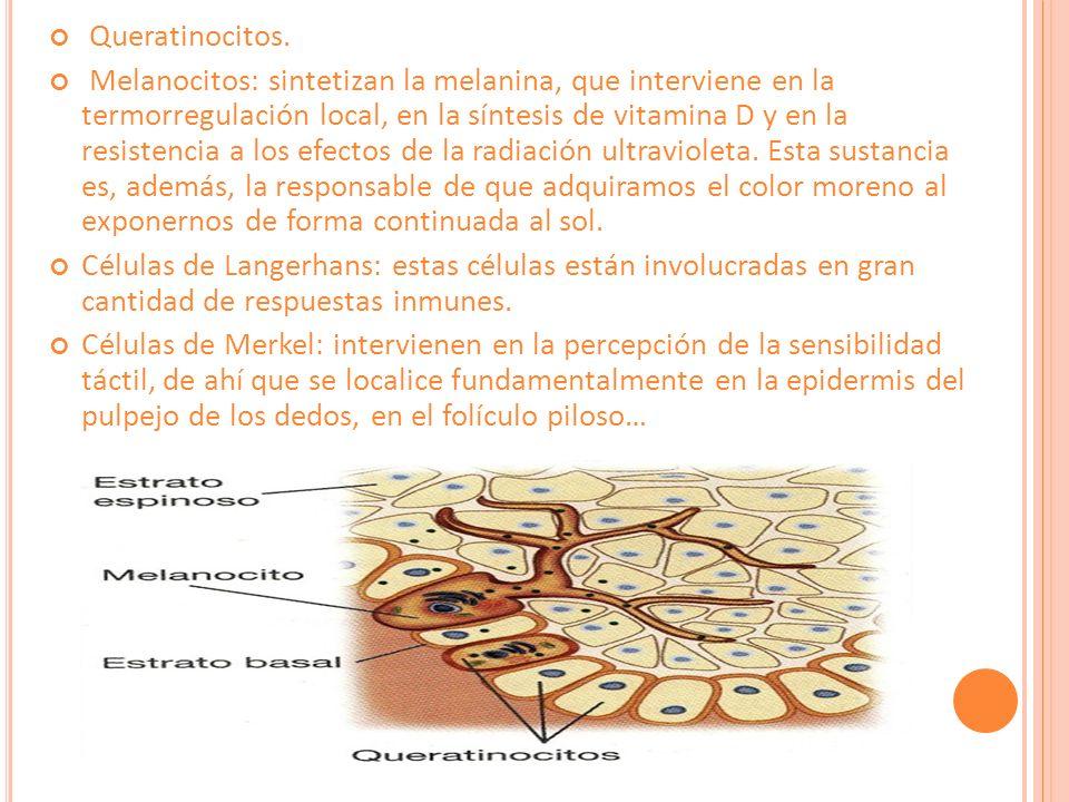 3.Hipodermis o tejido subcutáneo. Constituye el estrato más profundo de la piel.