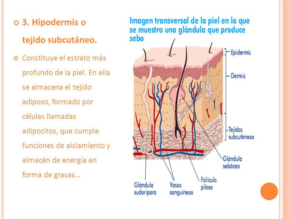 Dermis La Dermis llamada también corium, cutis o piel verdadera, es mucho más gruesa que la epidermis a la cual continúa anatómicamente y está fuertemente condensada con ella.