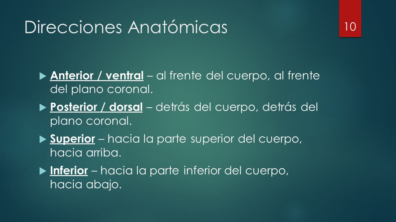  Anterior / ventral – al frente del cuerpo, al frente del plano coronal.