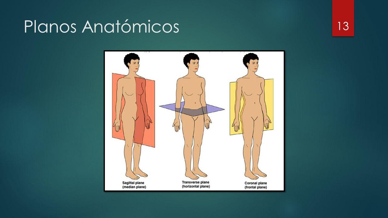 Planos Anatómicos 13