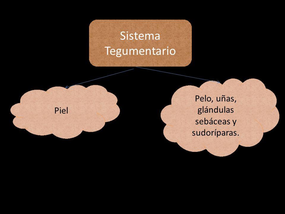 Sistema Tegumentario Piel Pelo, uñas, glándulas sebáceas y sudoríparas.
