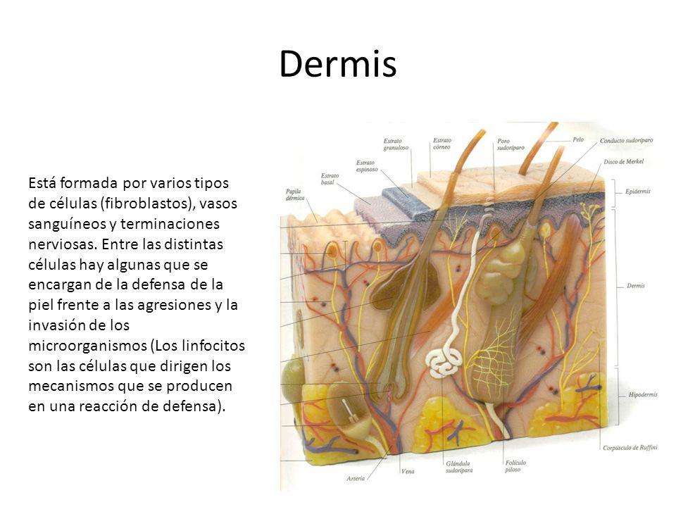 Dermis Está formada por varios tipos de células (fibroblastos), vasos sanguíneos y terminaciones nerviosas.