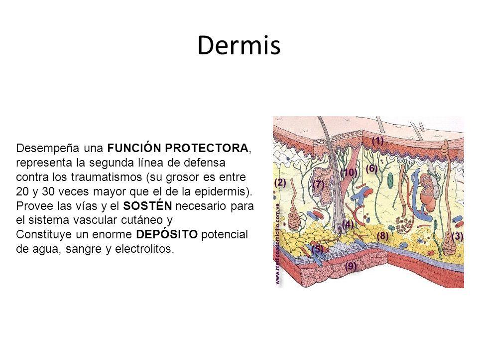 Dermis Desempeña una FUNCIÓN PROTECTORA, representa la segunda línea de defensa contra los traumatismos (su grosor es entre 20 y 30 veces mayor que el de la epidermis).